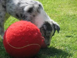 Smallest Border collie in the world, or giant tennis ball?